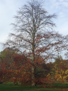 Fagus sylvatica in Cambridge University Botanic Garden.