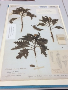 A specimen (Scalesia incisa) sent back by Darwin, with annotations and drawing by Hooker.