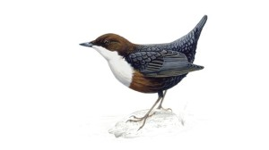 The white-throated dipper. (Credit: RSPB)
