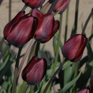 Tulipa 'Dom Pedro'.