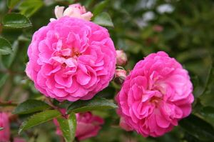 The rambler rose 'Dorothy Perkins'.