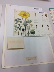 Henslow's botanical painting of Eschscholzia californica.