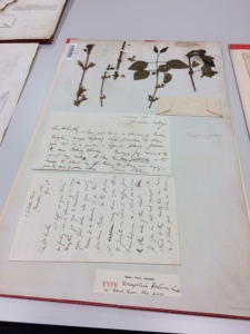 Forsythia fortunei, with the letter from Fortune attached.