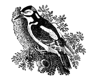 The greater spotted woodpecker.