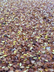 Beech leaves carpeting the grass.