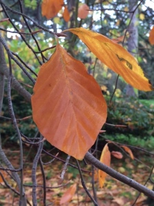 Ordinary beech leaf darkening to brown.