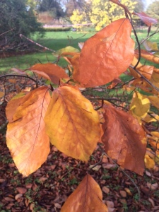 Cooper beech leaves fading to brown.