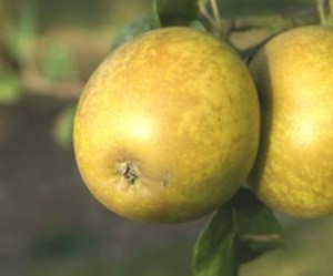 Modern lemon pippin.
