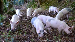 Pigs foraging for mast and acorns.