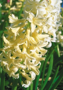 Hyacinth 'Prins Hendrik'.