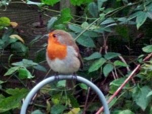 My local robin.
