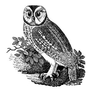 The tawny owl.