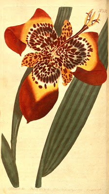 Tigridia red Curtis 1801