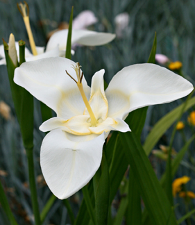 This white variety, with the faint yellow central ring, closely resembles Jones's photograph.