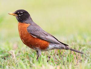 The American robin, Turdus migratorius