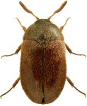 Vodka beetle (2-5 mm).