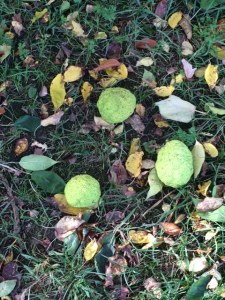 Osage orange fruits.