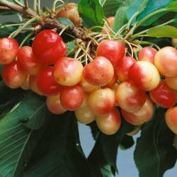 Cherry 'White Heart'.