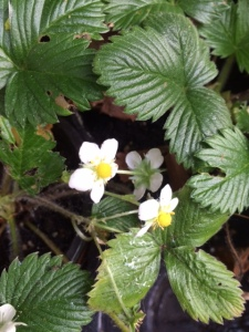 Alpine strawberries.