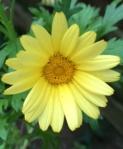 Argyranthemum small