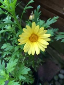 Argyranthemum.