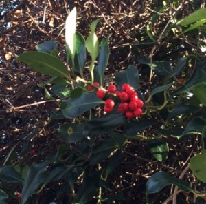 Red holly, Ilex aquifolium.