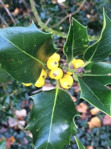 Yellow berried holly.