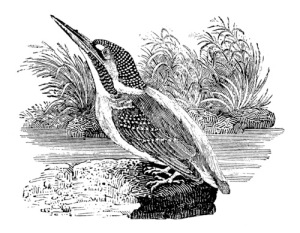 Kingfisher.Bewick