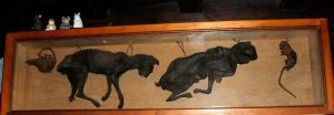 Dried cats (and rats) from the Stag Inn, Hastings.