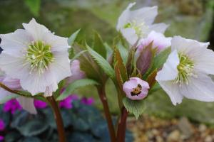 The wonderful Helleborus thibetanus.