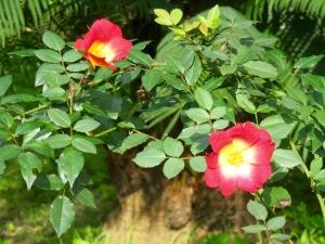bicolour rose