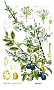 A botanical drawing of the sloe by the German Otto Wilhelm Thomé (1885).