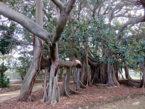 The strangler fig, so called because it begins as an epiphyte on a host plant which it gradually swamps.