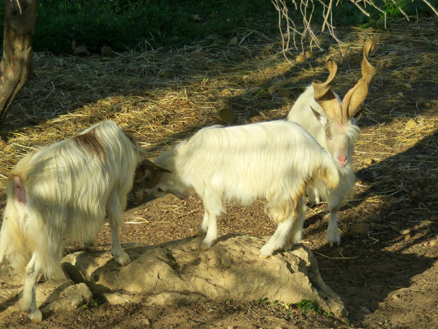 The Girgenti goats, a rare breed being conserved in the valley.