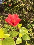 Hibiscus small