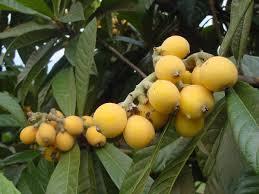 Loquat fruits.