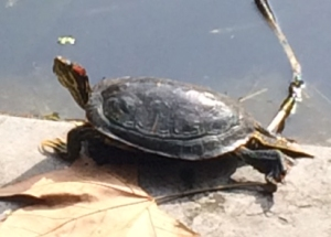 One of the many turtles in the garden ponds.