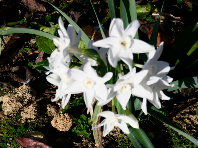 Paperwhite narcissi: their stalks are short, as they have no need to grope for the sun...