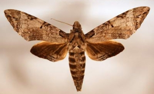 The adult sphinx moth.