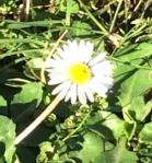 Small single daisy