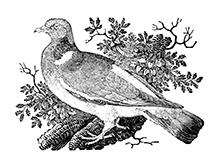 wood-pigeon