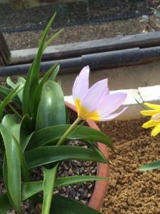 T. bakeri 'Lilac Wonder'