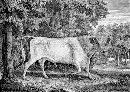 Thomas Bewick's famous engraving of the Chillingham Bull (1789).