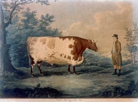 The Durham Ox, by livestock painter John Boultbee (1753–1812).