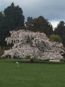 Prunus yedoensis, glowing even on an overcast day.