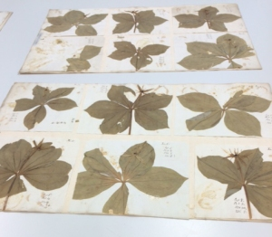 Two of the many Paris sheets in the Herbarium.