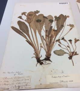Primula specimens collected in Cambridgeshire and elsewhere.