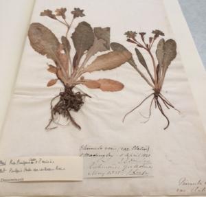 Primula Madingley