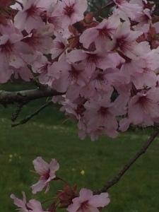 Pink Prunus 'Shosar'.
