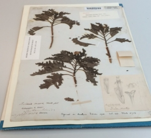 Scalesia incisa, from Chatham Island (now San Cristobal).